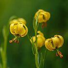 Yellow lily by Irina777
