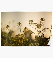 Mustard Plant flowers Poster