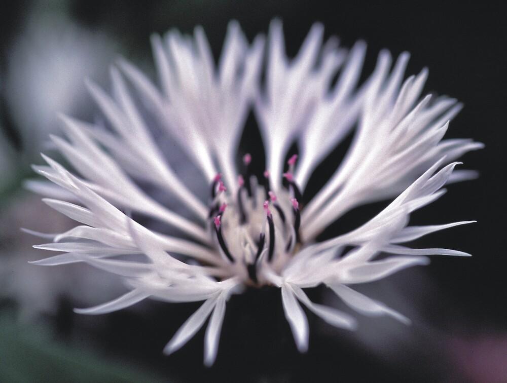 White Cornflower by kgb1965