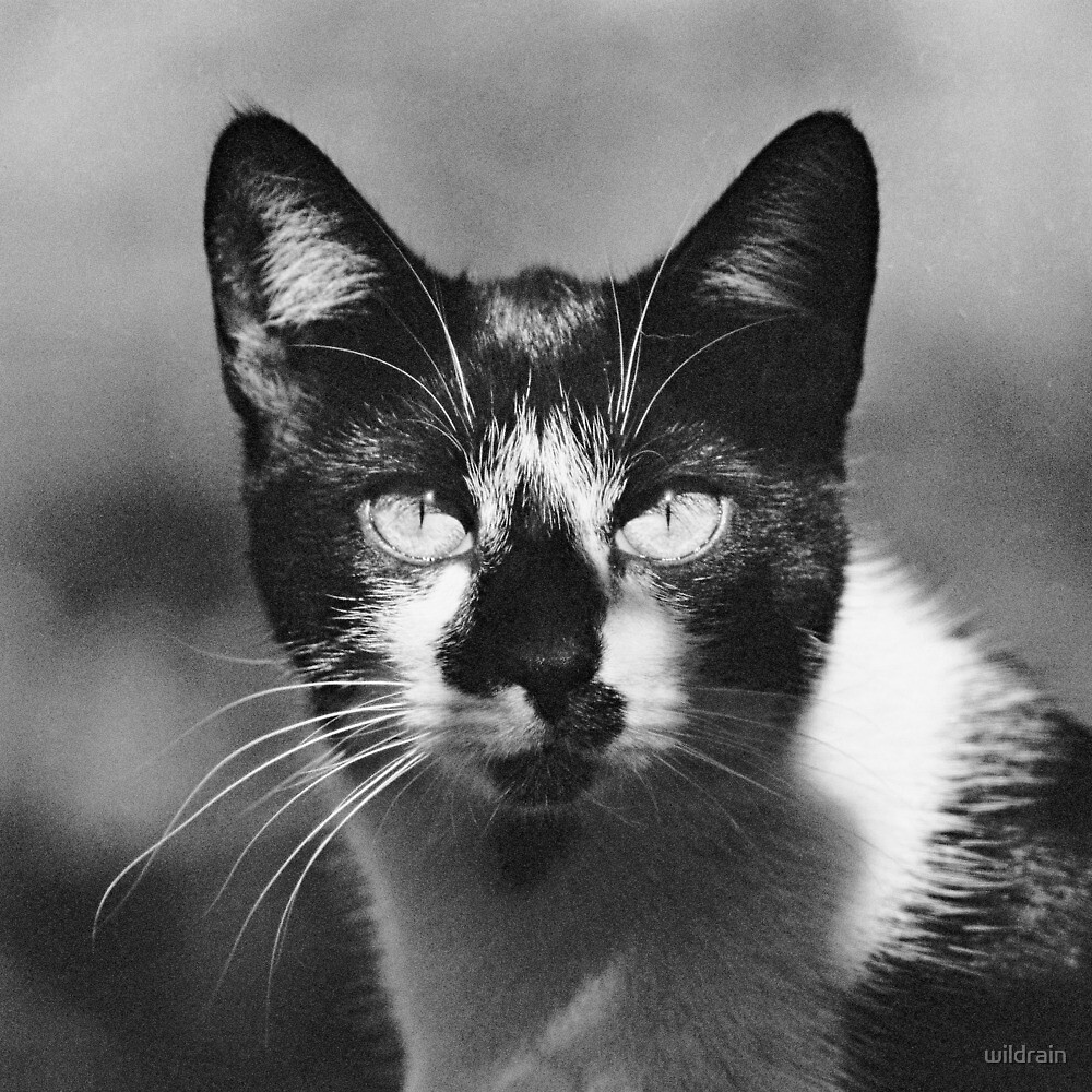 Black And White Cat Close Up by wildrain