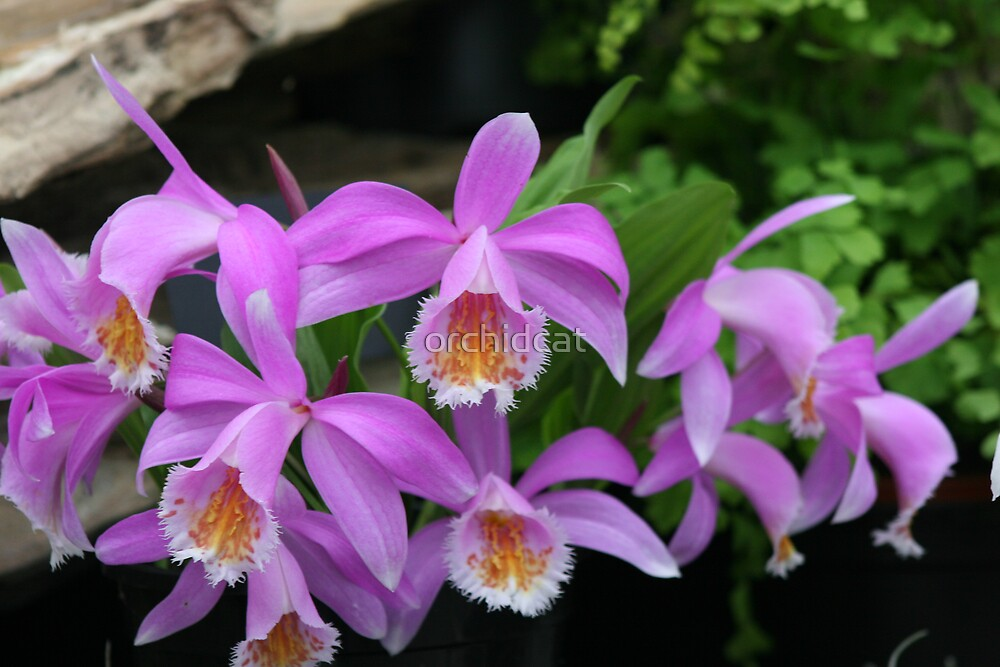Pleione orchids by orchidcat