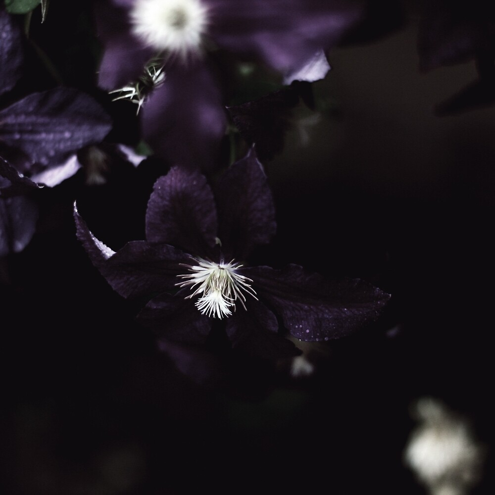 Clematis by Lenoirrr