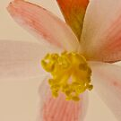 Rex Begonia Blossom Macro by Sandra Foster