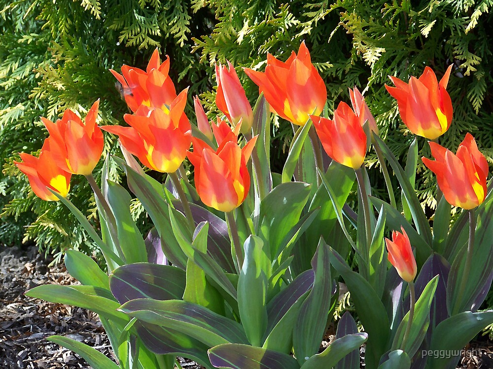 Orange Flaming Tulips by peggywright
