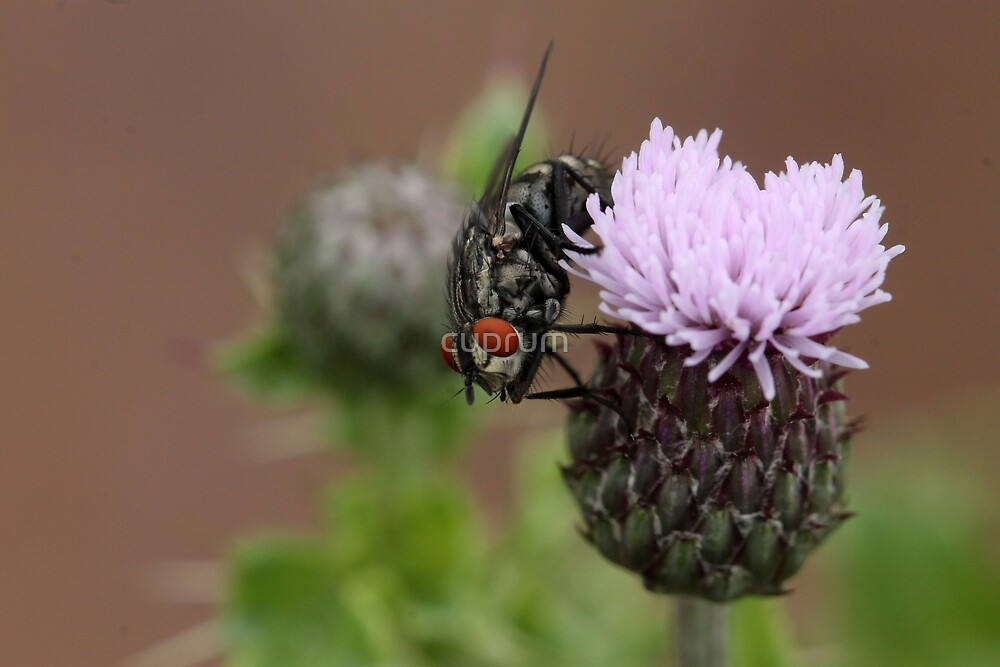 Flesh Fly by cuprum