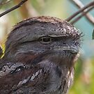 Tawny Frogmouth by David  Hibberd