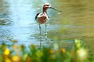 Avocet In June by Betsy  Seeton