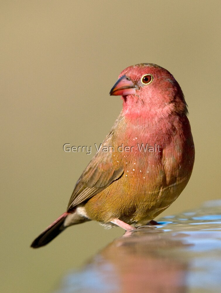 Red-Billed Firefinch by Gerry Van der Walt