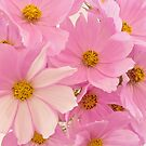 Pink Cosmos Sonata  by Sandra Foster