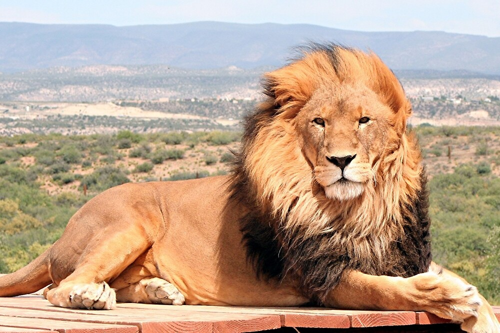 Magnificent African lion by FranWest