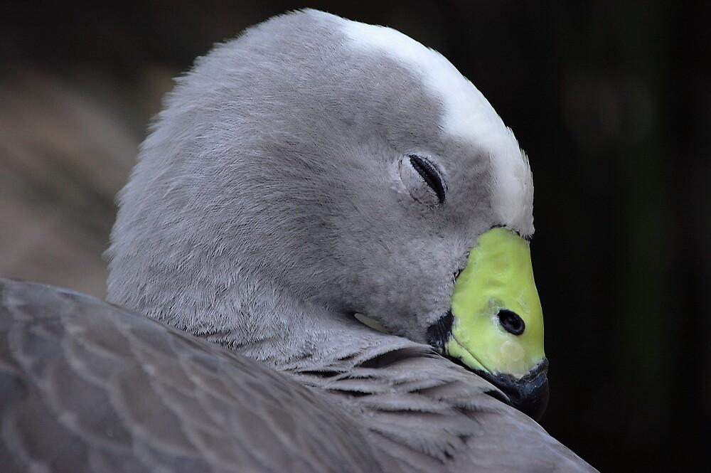 cape barren goose by slimer