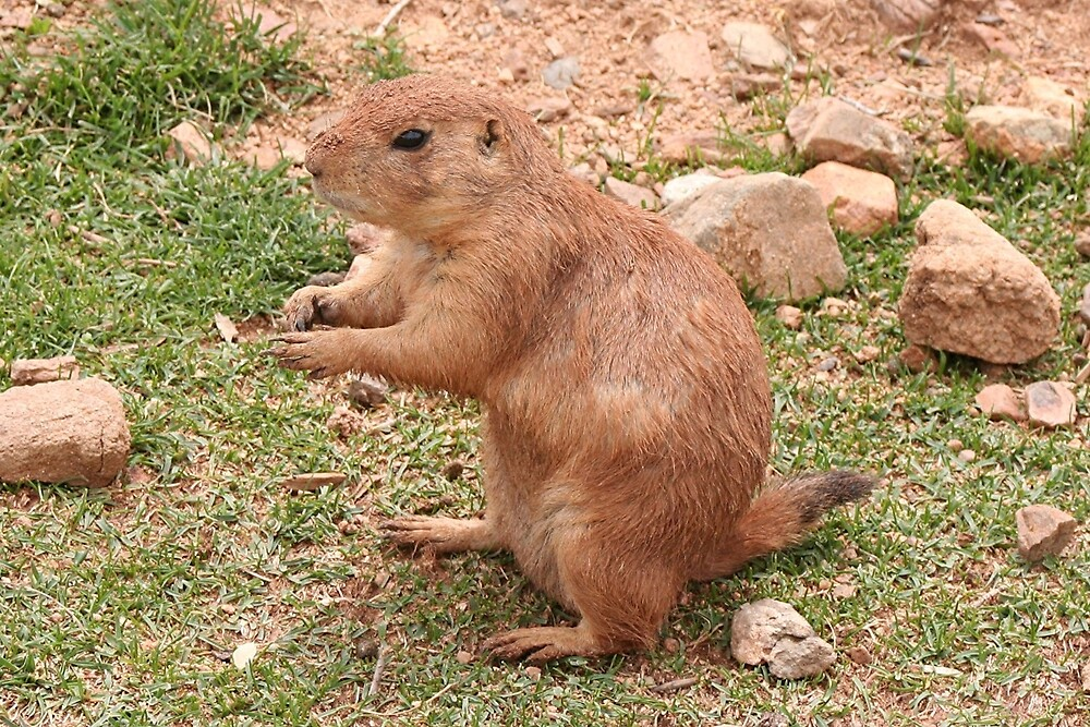 Cute Prairie dog, Arizona, USA by FranWest