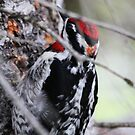 Yellow Bellied Sapsucker by Alyce Taylor
