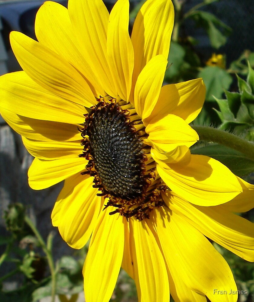 SUNFLOWER by Fran James