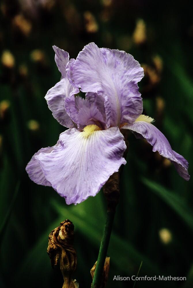 Purple Bearded Iris by Alison Cornford-Matheson