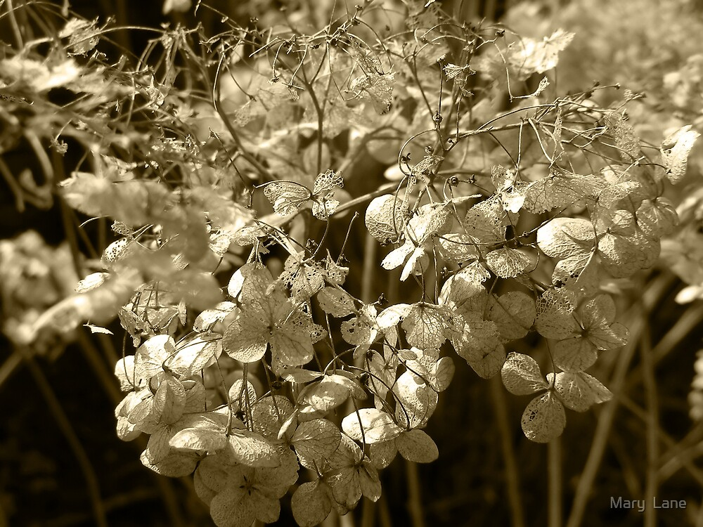 Old Hydrangea by Mary  Lane