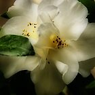 White Camellia by Barbara  Brown