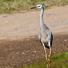 Australian white faced heron 00671 by kevin chippindall