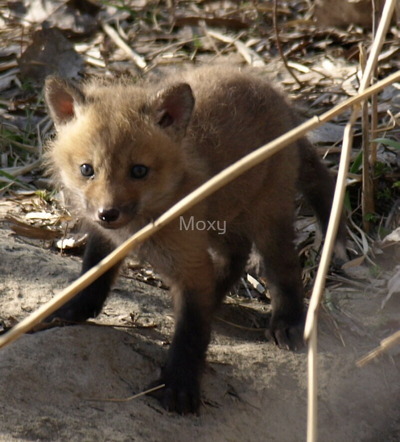 Red Fox Pup 2 by Moxy