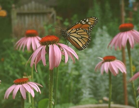 Monarch on Cone Flower by wilddaisy1951