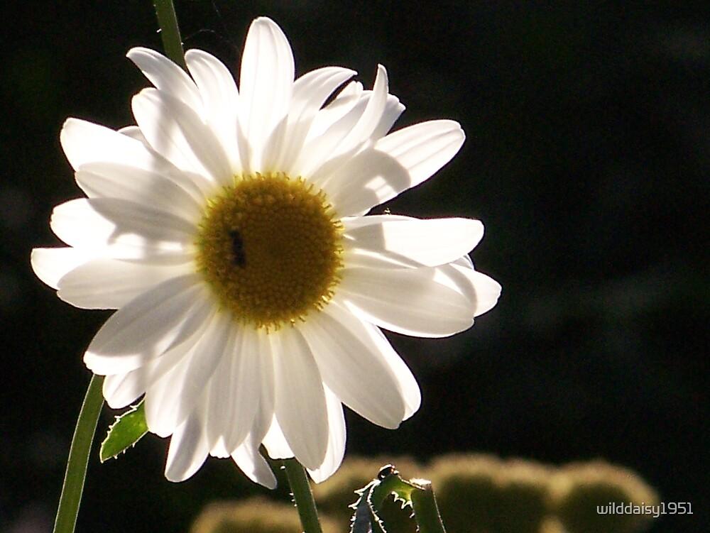 Daisy by wilddaisy1951
