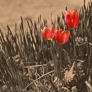 Tulips by the roadside  by mlwhite