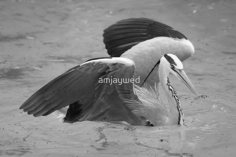 Grey heron and fish by amjaywed
