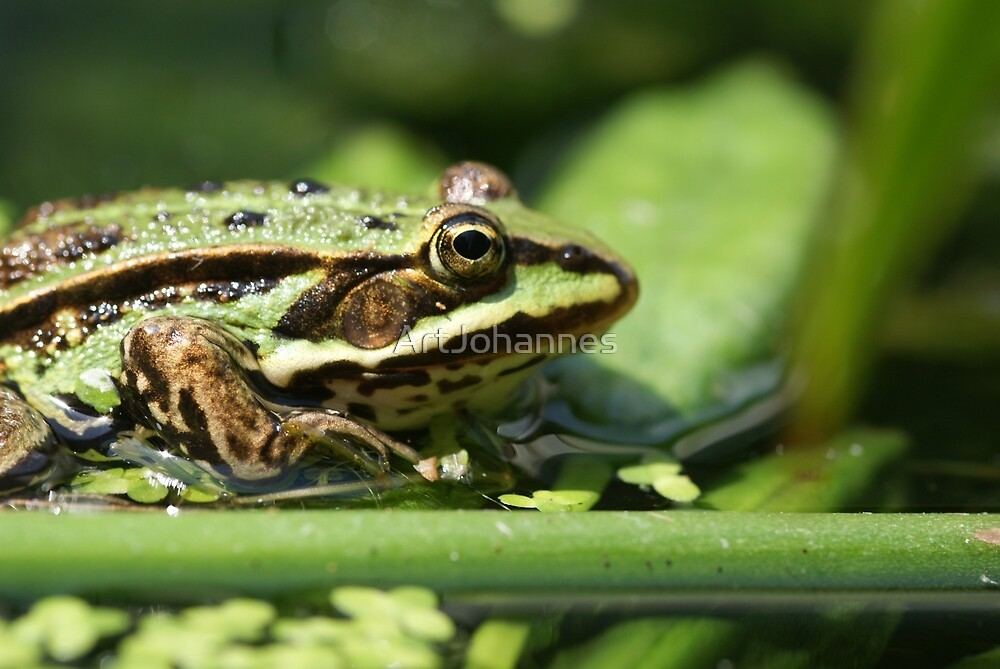 Frog by ArtJohannes
