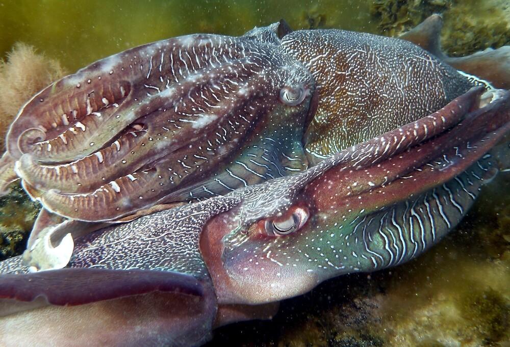 Giant Australian cuttlefish broadside (Sepia apama) - South Australia by Dan Monceaux