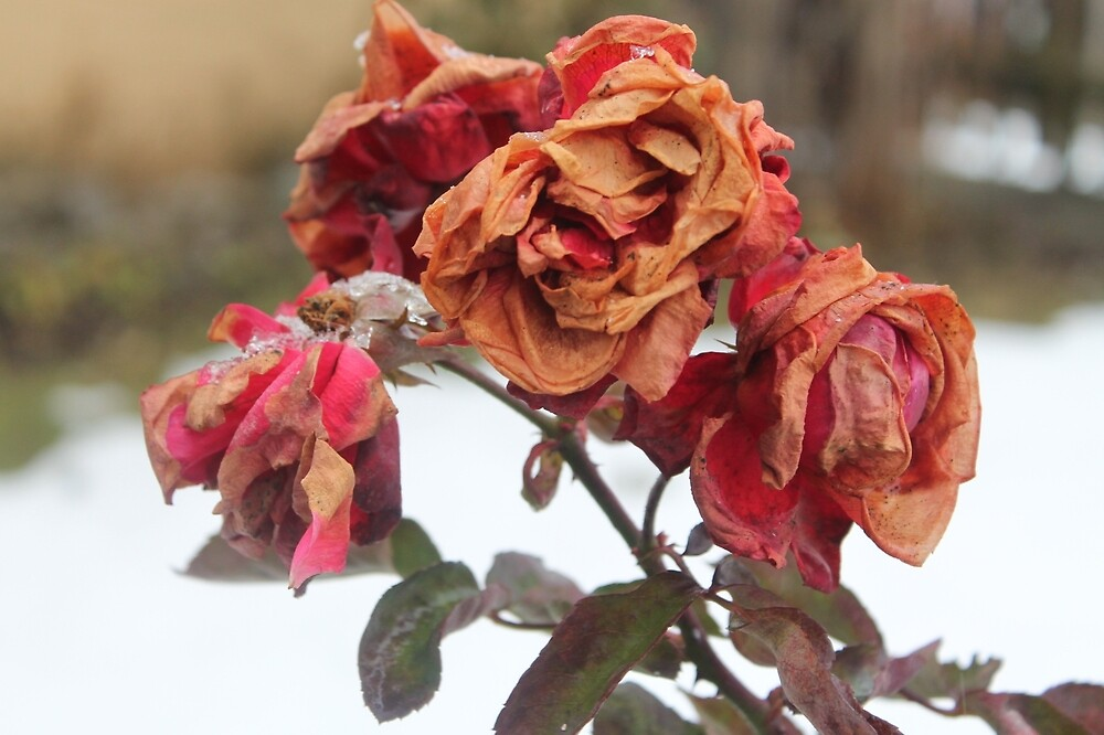 Rose in the winder at frost by rachariedel