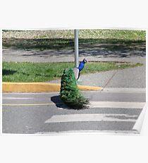 Peacock Crossing Poster