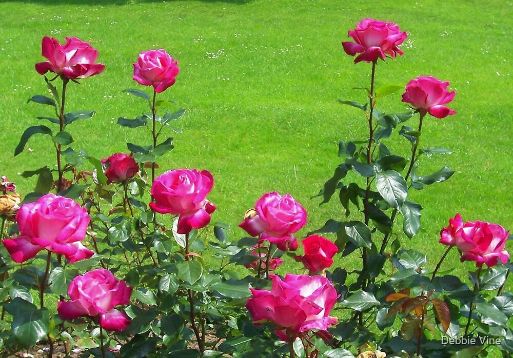 Pink Roses by Debbie Vine