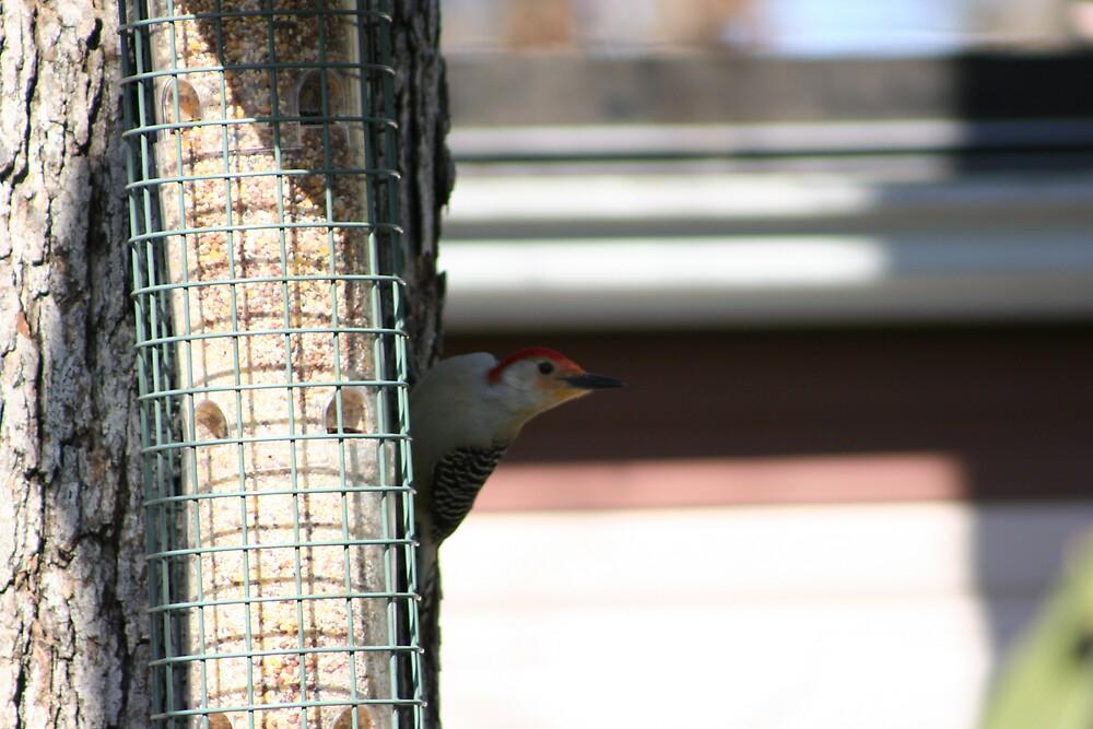 red bellied woodpecker by turkeylegs