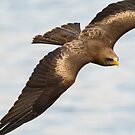 Yellow-billed Kite by M S Photography/Art