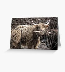 Scottish Highland Cows Greeting Card