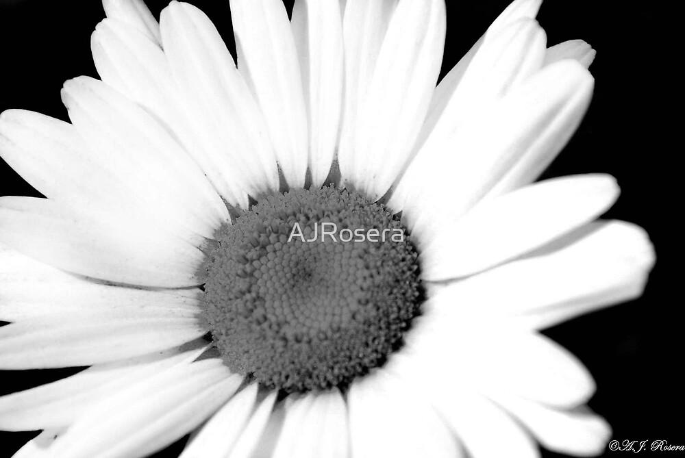 Black and White Daisy by AJRosera