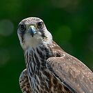 Lanner Falcon Portrait  by M S Photography/Art