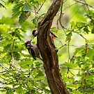 Great Spotted Woodpeckers by M S Photography/Art
