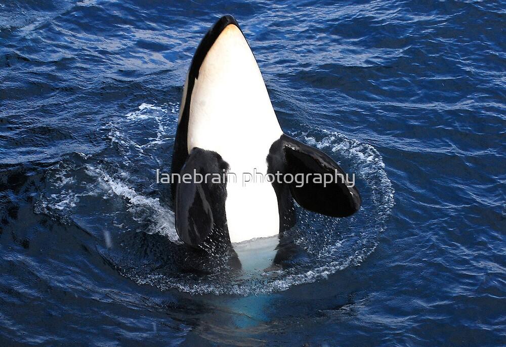 Killer Whale #4 by lanebrain photography