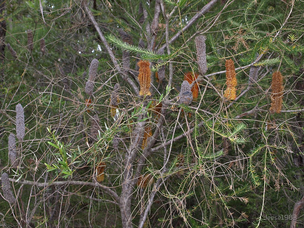 Banksia at Greys Point by leese1983