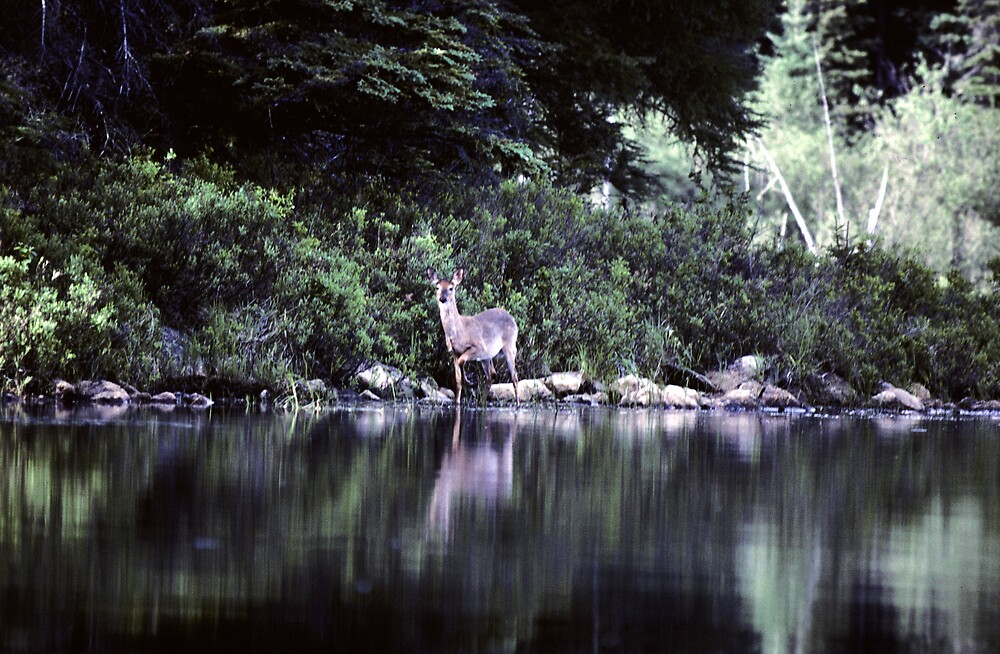 White Tailed Deer by bertspix