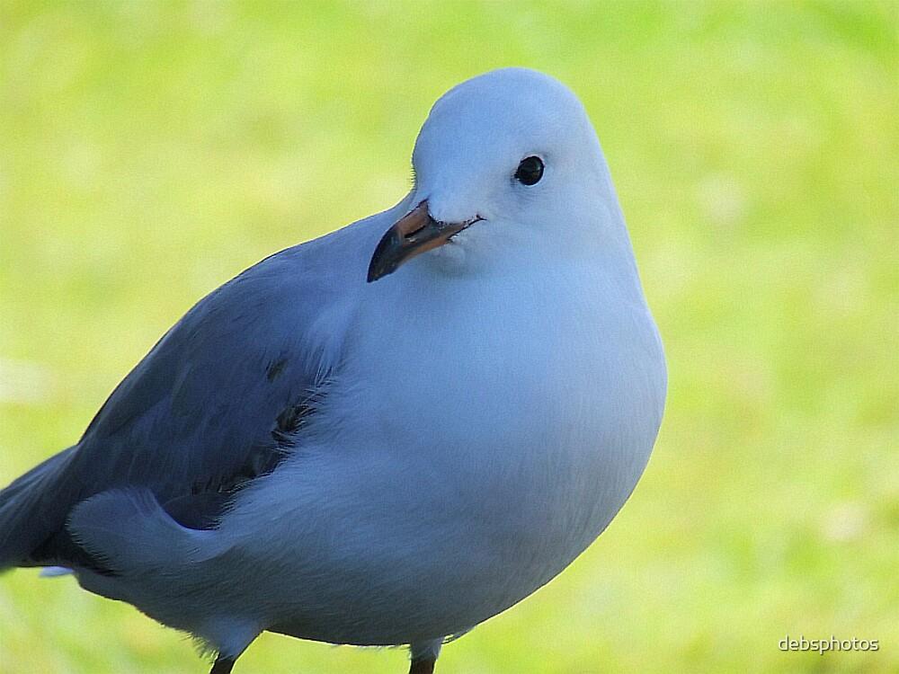 Pretty Gull... by debsphotos
