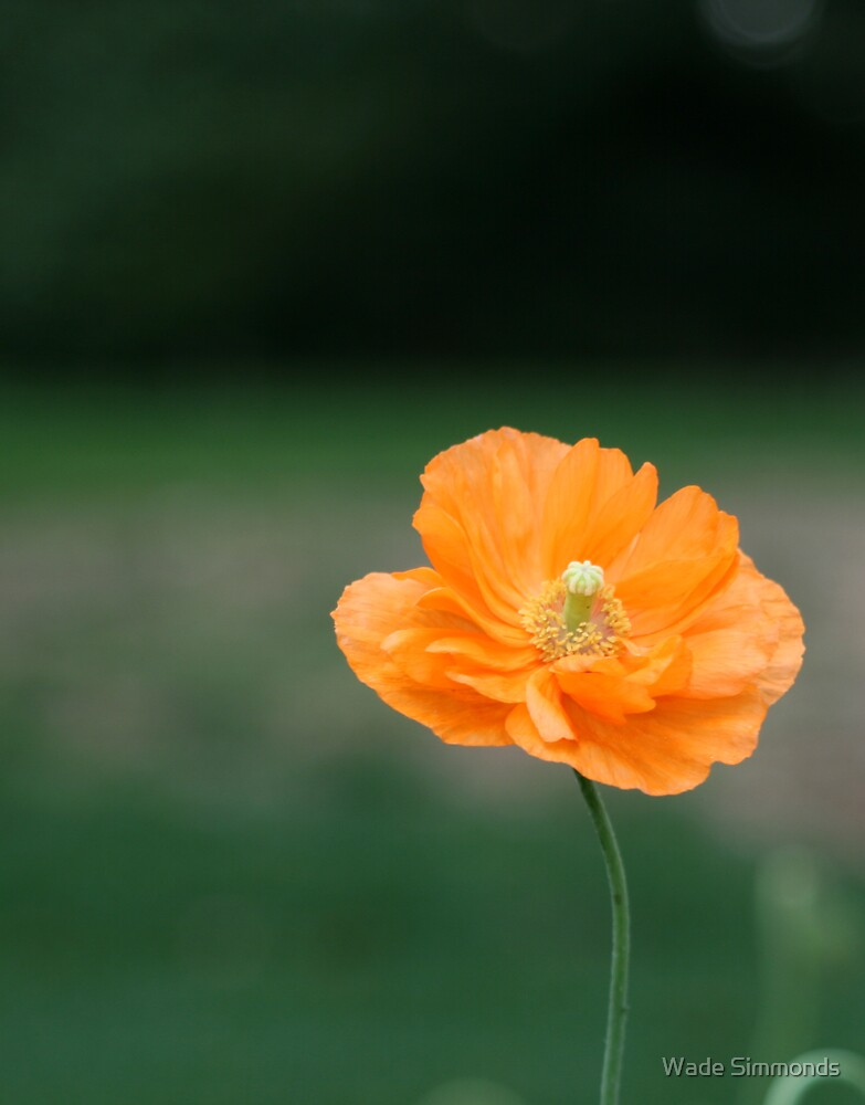 Poppy by Wade Simmonds
