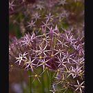 Allium Summer Flowers by Marcia Glover