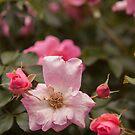 Peonies summer flowers by Marcia Glover