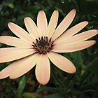 Serene Daisy by Kathryn Jones