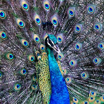 Peacock Sri Lanka  by nilantha77