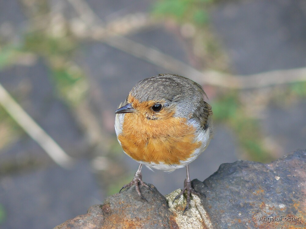 a robin near the house by AngelaFoster