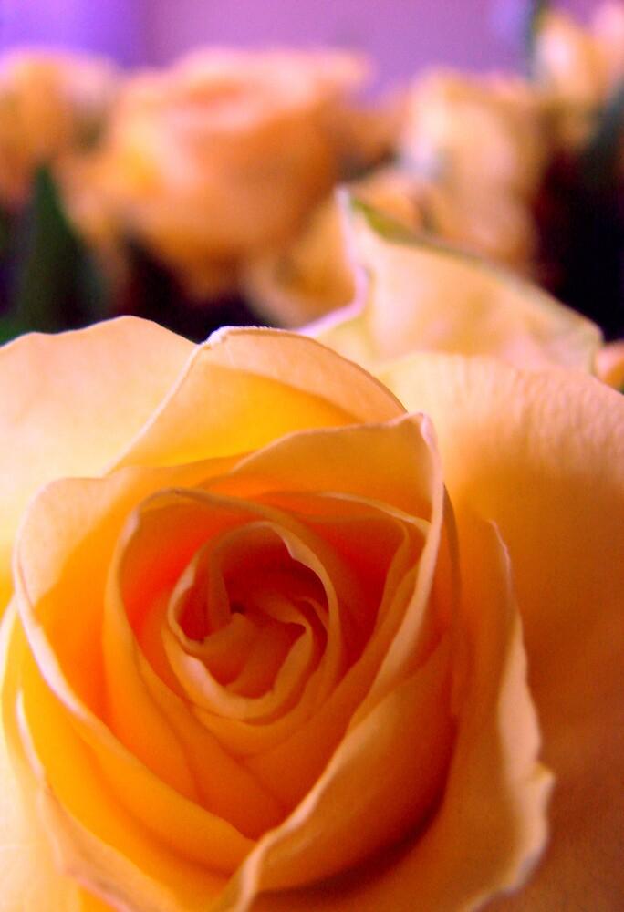 Rose by evamarina