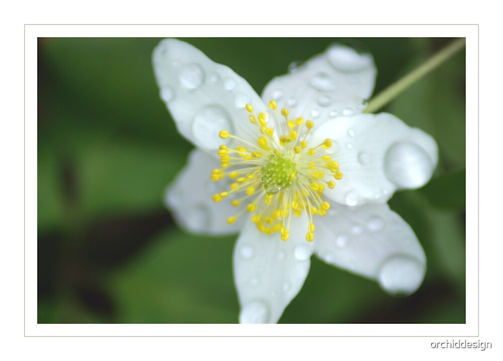 Wood Anemone by orchiddesign